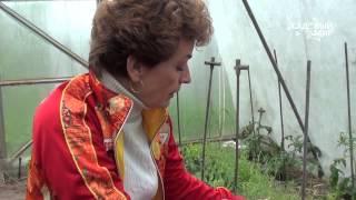 Смотреть видео  если помидоры в теплице плохо завязываются и цветки осыпаются