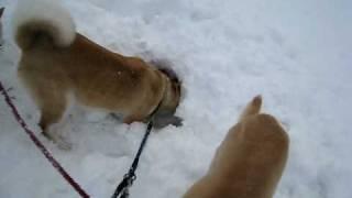 雪を掘ってかまくら作り.