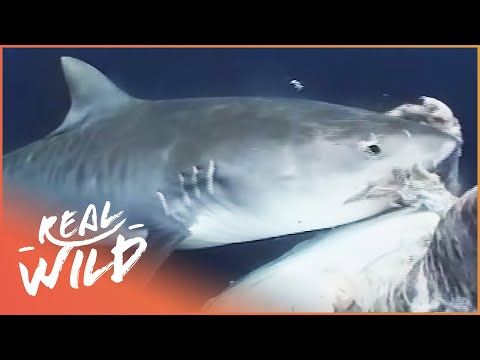 Thug Of The Sea (Tiger Shark Documentary) | Wild Things