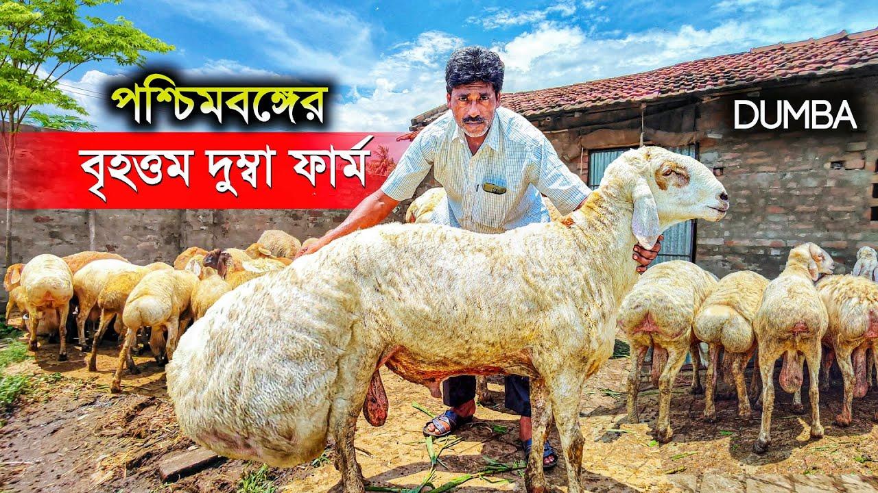 DUMBA || পশ্চিমবঙ্গের বৃহত্তম দুম্বা ফার্ম | Dumba Farming | Dumba Goat Farm | Best Dumba Sheep