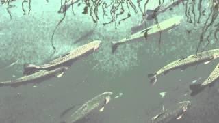 Cultivo de truchas arcoiris en las islas flotantes UROS (etnia Aimara), Puno Perú