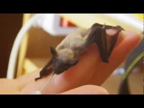 Baby bat - Piccolo pipistrello di casa: Pam