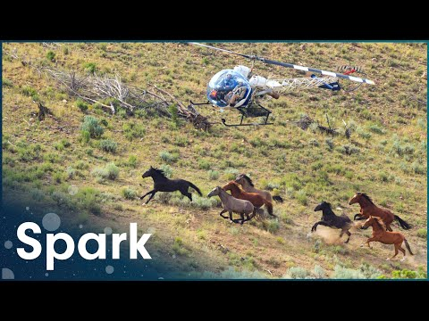 The Farmers That Use Helicopters To Herd Cattle | Big Australia | Spark