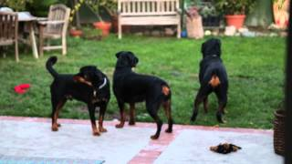 Three Rottweilers Howling To Firetruck