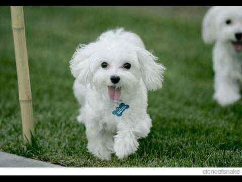 Maltese Dog Breed Information