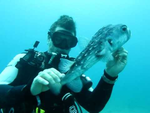 Diver Saves Puffer Fish (Saving Puff Daddy)