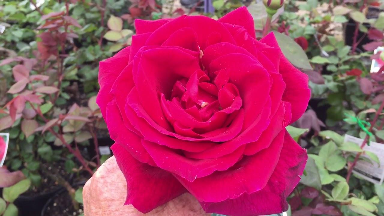Roses Best Roses Mr Lincoln Rose Perfumed Roses Most Fragrant