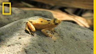 Frogs vs. Fungus Panama's golden frog is a symbol of good luck and prosperity. Now researchers are fighting to save the rare amphibian from a naturally occuring - and deadly - fungus.