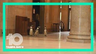 Kansas City Zoo penguins visit the Nelson-Atkins Museum of Art