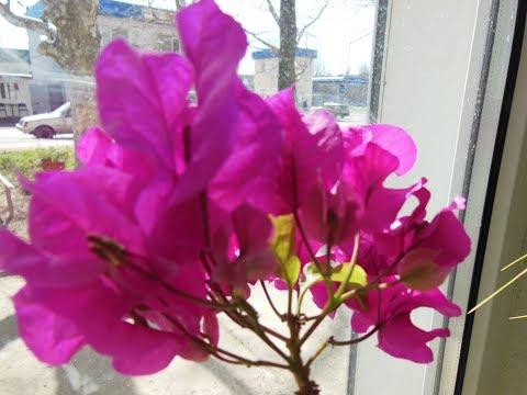 #Комнатные растения/ цветы. Бугевиллия уход, размножение в домашних условиях.
