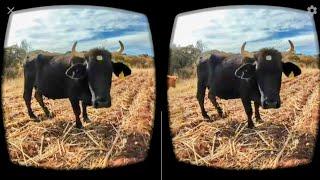 Vacas en realidad virtual | Episodio #41