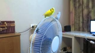Волнистые попугаи спасаются от жары
