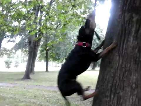 Pitbull height jump