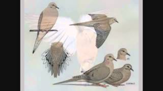 The Mourning Dove -  Phillip Morgan