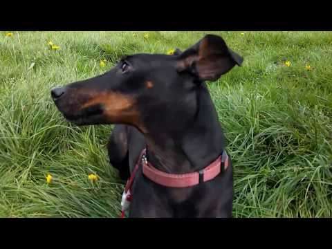 Chester the Manchester Terrier and the horses