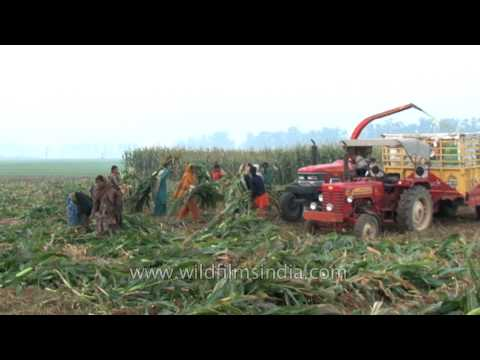 Forage harvester harvests forage plants to make silage in Ludhiana