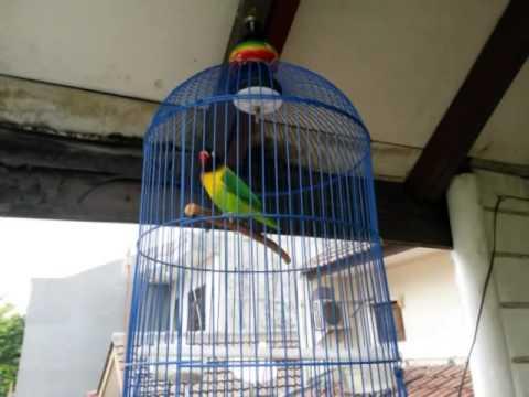 Lovebird rasa cucak jenggot
