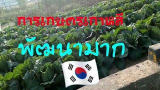 การเกษตรเกาหลี นาข้าว แปลงผัก