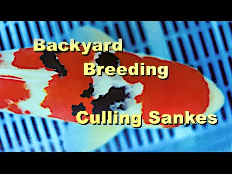 Backyard Koi Breeding Culling Sankes