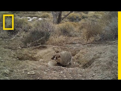 Watch a Badger Bury an Entire Cow (Never Before Seen) | National Geographic