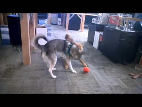 Shiba Inu playing with Klee Kai