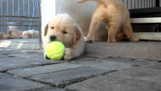 Golden Retriever Puppy: Playing With Tennis Ball Vid 1 - Litter E (von L'autumn Kennel)