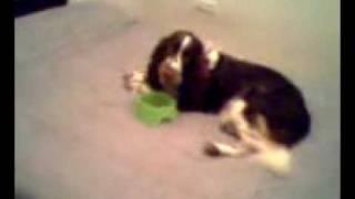 English Springer Spaniel Eating