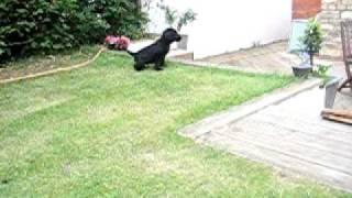 Gus, Flat Coat Retriever Puppy Toilet Training....