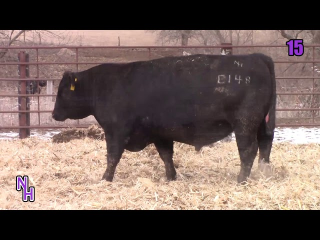 New Haven Angus Lot 15