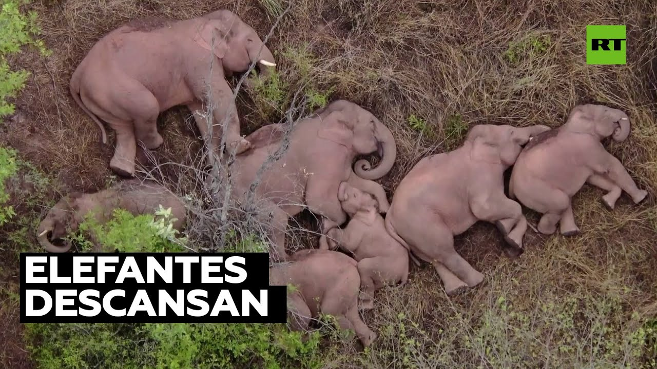 La manada de elefantes de China descansa tras recorrer más de 500 kilómetros
