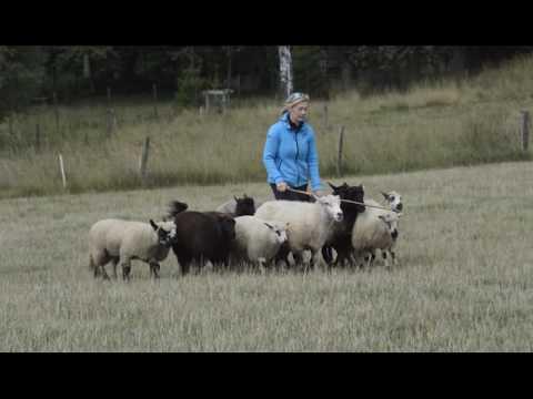 "Briard ""Viki"" Venus Dalido and sheep in Martinkovice 2016"