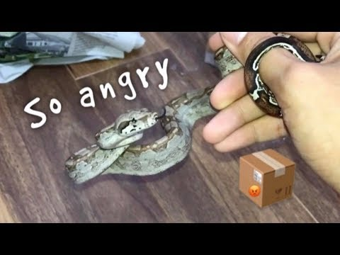 Unboxing an ANGRY baby SNAKE for Christmas !!! ~ He bit me LOL