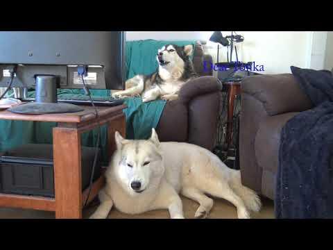 Dear Tonka, from Tikaani and Wolf (beware loud noises)