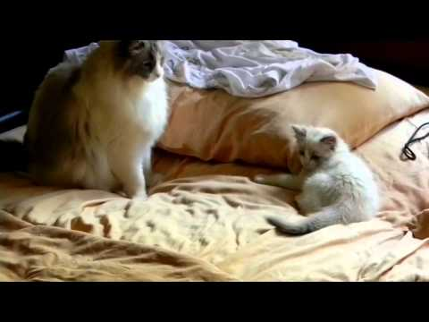 Ragdoll Kitten meets new Ragdoll brother for 1st time...FABULOUS!