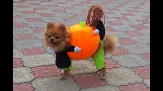 Собачка вместе с куклой собирают урожай. Смешные животные. Шпиц в новом костюме. Видео дя детей.