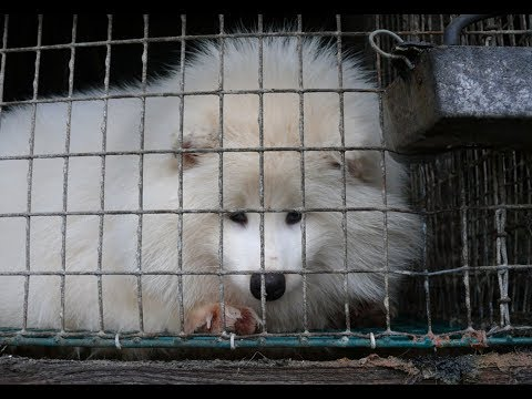 The real price of a fur coat - foxes kept in filthy cages for seven months before being skinned