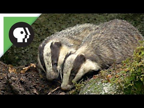Female Badger Looks for Love   Nature on PBS
