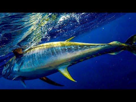Opelu Vs Akule, One = Yellowfin Tuna? | Kayak Fishing Hawaii | Flying Fish TV