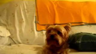 Petey the Yorkie says I Love You - 2