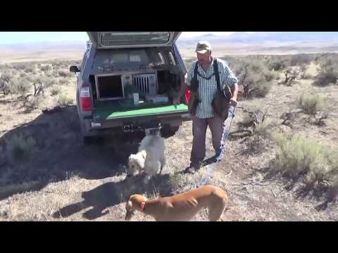Hunting hares with two dogs and an eagle