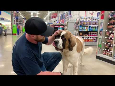 Best Dog Training Toledo, Ohio! 1 Year Old St. Bernard, Bongo!