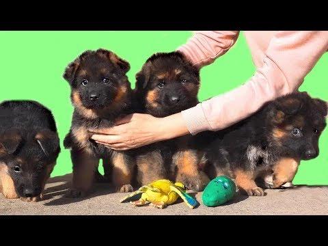 💞Богатырь и три Принцессы! Щенки Немецкой овчарки. German Shepherd Puppies.