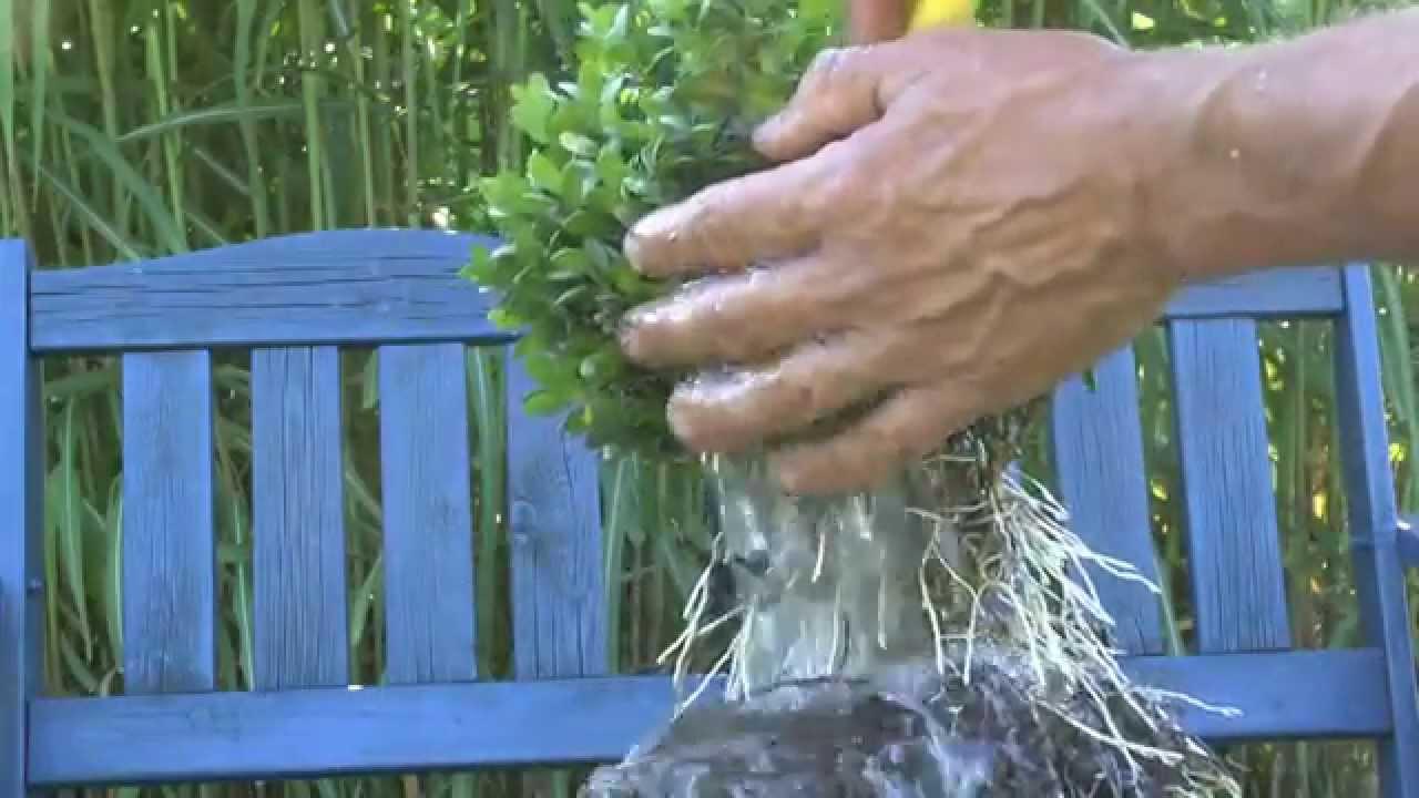 Geliebte Buxus Vermehrung. Buchsbaum ganz einfach selber heranziehen. - YouTube #HQ_64