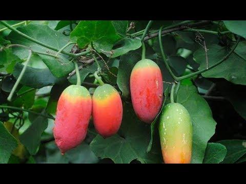 ✔তেলাকুচা গাছের অসাধারণ স্বাস্থ্য উপকারিতা  Health Benefits of Ivy gourd
