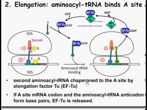 Mechanics Of Protein Synthesis Initiation Elongation And