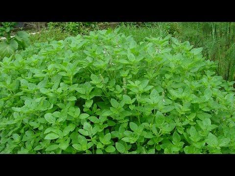 Curso Cultivo e Uso de Plantas Condimentares