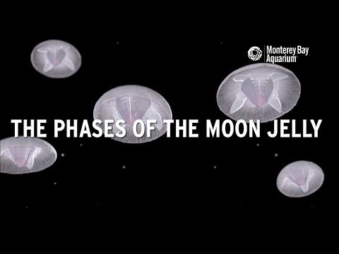 The Phases Of The Moon Jelly