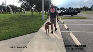 "1 Year Old Boxer Hound Mix ""Tiva""/ Dog Trainer/ Best Dog Trainers Orlando"