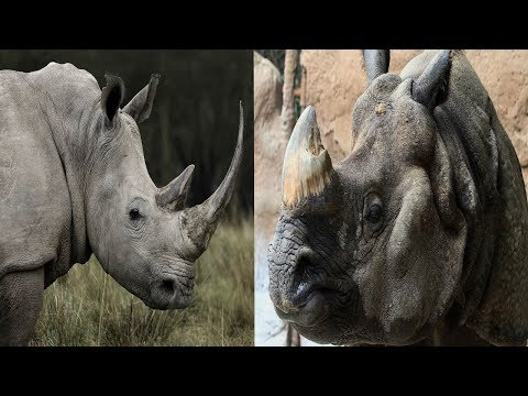 White Rhinoceros & Indian Rhinoceros - The Differences