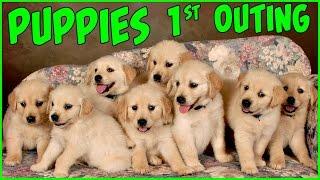 PUPPIES FIRST PHOTO SHOOT Pictures Golden Retriever Puppy Videos